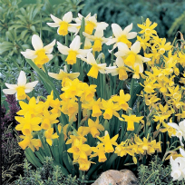 Narcissus Mixed Miniature Rockery